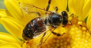 Пчелите се ориентират с голяма точност по магнитното поле на Земята и Слънцето