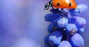Малка и красива, калинката е добър приятел в градината