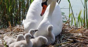 Лебеди – красиви и загадъчни птици