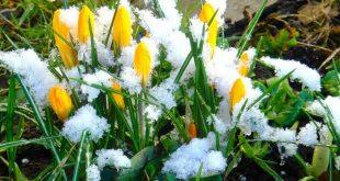Минзухари през пролетта