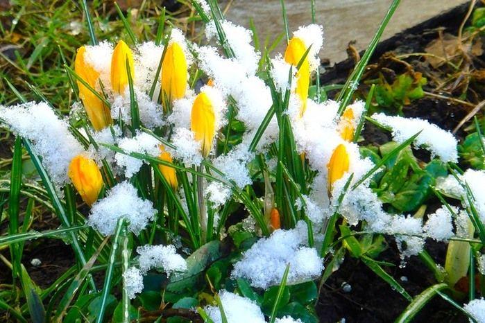 Минзухари в сняг