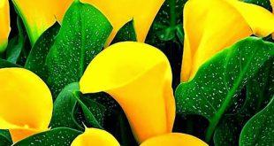 Цветето Кала  и  как можете да го отгледате