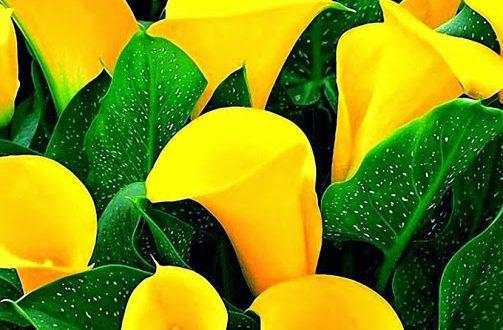 жълта кала