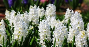 Зюмбюл – цветето на дъждовете