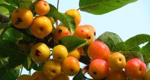 Райската ябълка е дърво с височина 8-10 метра и не е трудна за отглеждане