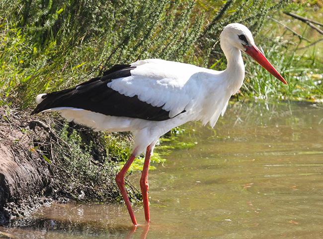 Белият щъркел е голяма птица, висока 1 м. с 2 м. размах на крилата