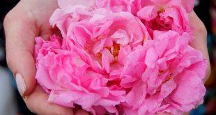 Рози за розово масло