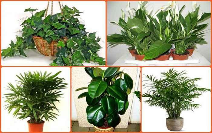 Способността на повечето домашни растения да поглъщат пари и газове и да отделят кислород е отдавна доказана.
