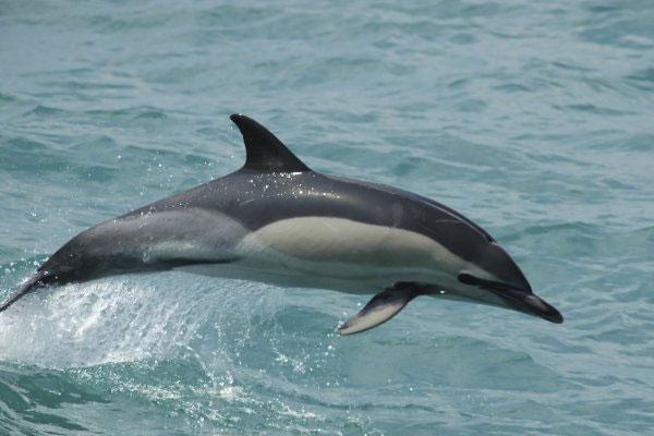 Афалата е обявена за застрашен вид вече 50 години.