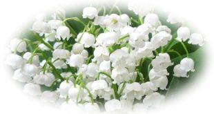 Цветето момина сълза е изключително нежно и красиво с вълшебен аромат.