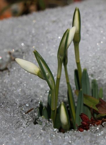 Кокичета цъфтят между сняг и лед