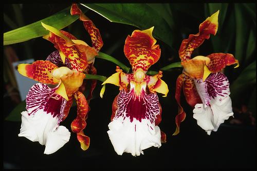 Орхидея Odontoglossum