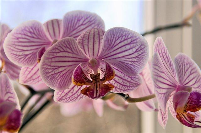 Орхидея Oncidium