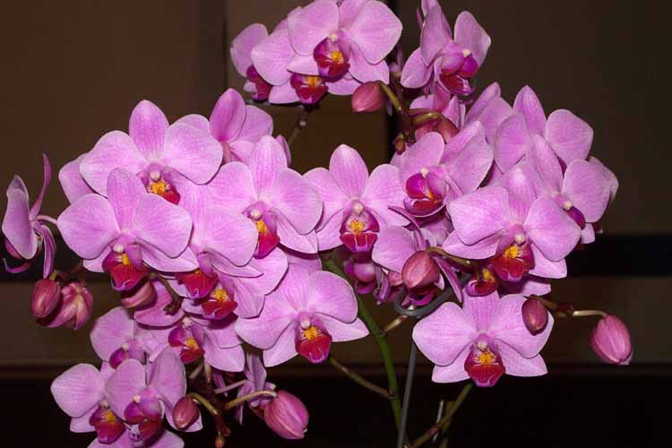 Орхидеи Phalenopsis