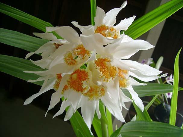 Орхидея Thunia