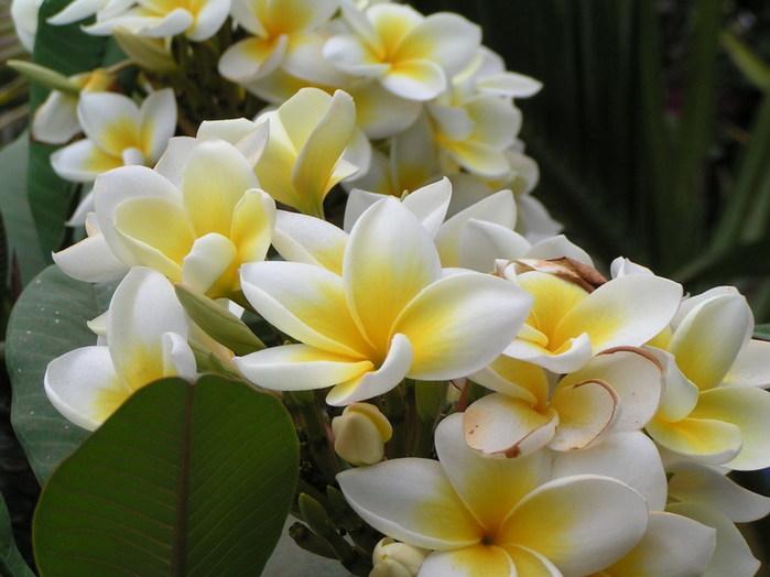 Орхидеи Vanilla