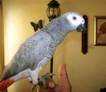 Африкански папагал