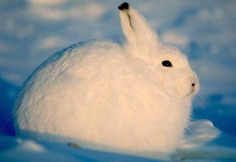 Бяло зайче