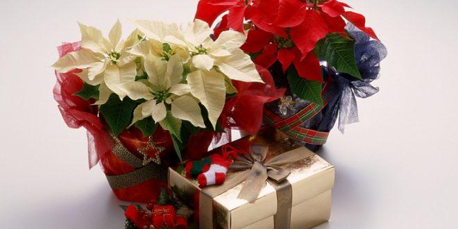 Подарък Коледна звезда