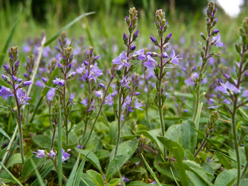 Veronika officinalis е много известна използвана и лековита билка, която също носи името Великденче